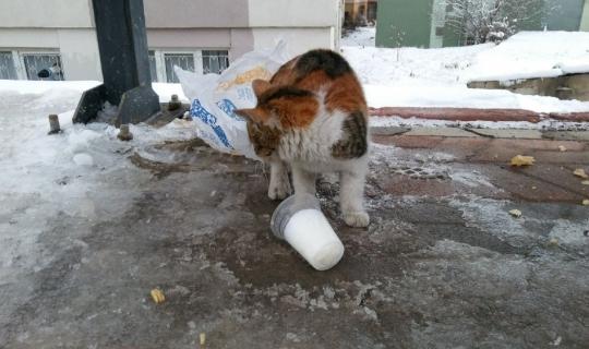 Aç kalan kedi donmuş sütle karnını doyurmaya çalıştı