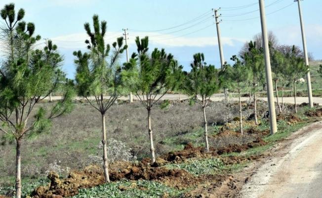 Aliağa Belediyesi mezarlık yolunu ağaçlandırdı