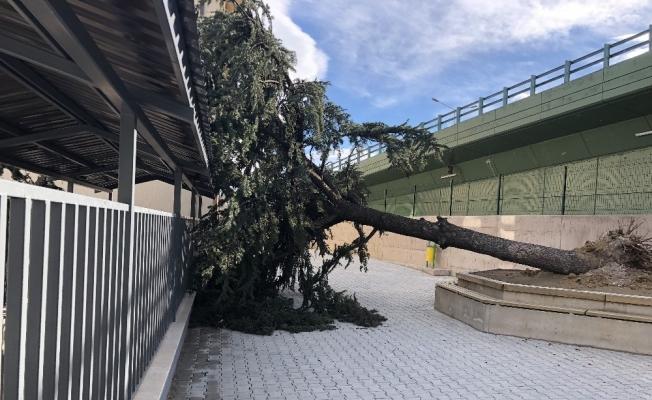 Lodos okul bahçesindeki ağacı devirdi