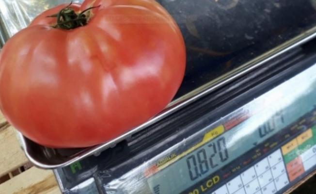 Bu domatesi görenler şaşkınlığını gizleyemiyor
