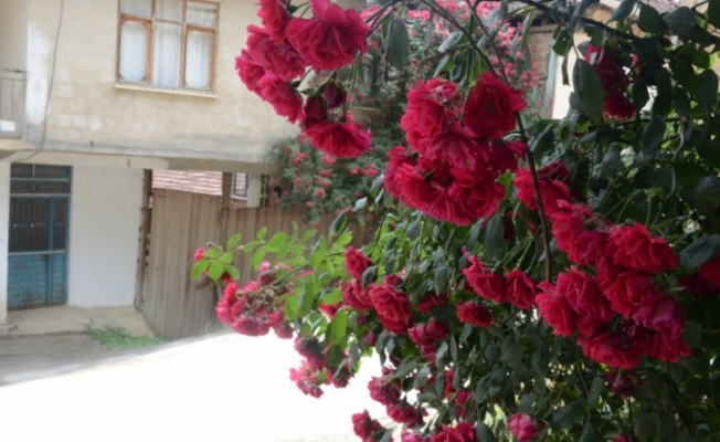 Gül bahçelerini Isparta'ya kaptırdık