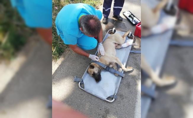 Araba Çarpan Köpek Hayata Tutundu