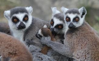 (Özel) Lemur ailesine 8 yeni üye