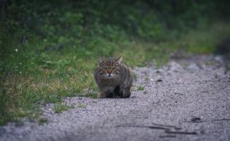 (Özel) Yaban kedisi Bursa'da görüntülendi